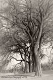 Prospect Park, Brooklyn, New York, tree