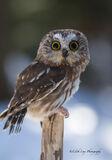 Saw-Whet Owl 2