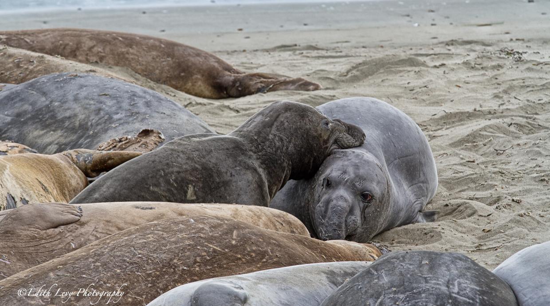 San Simeon, California, elephant seal, Elephant Seal Vista Point, beach, seal, sand, pair