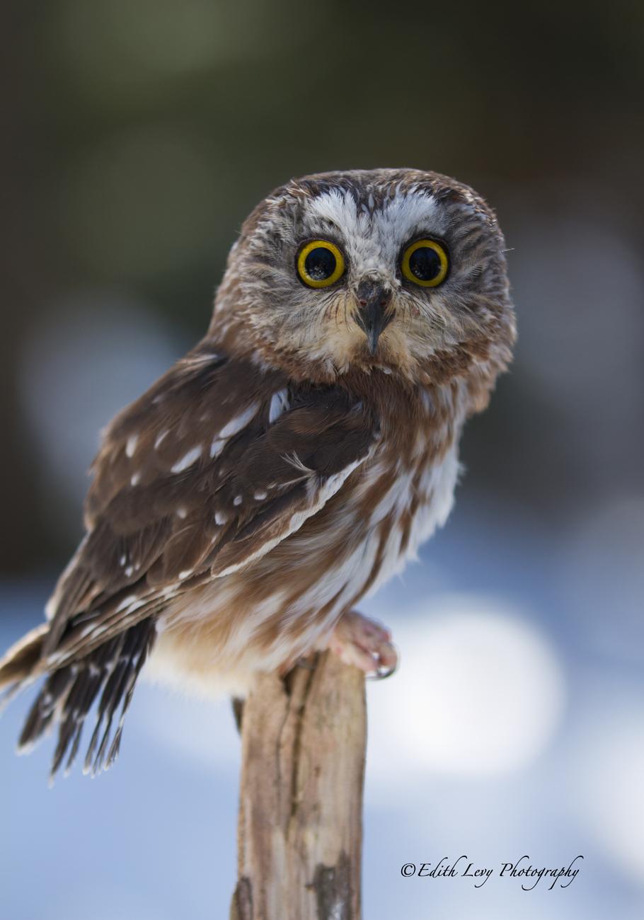 Muskoka Wildlife Reserve, Ontario, saw-whet owl, bird, winter, perch, snow, tree