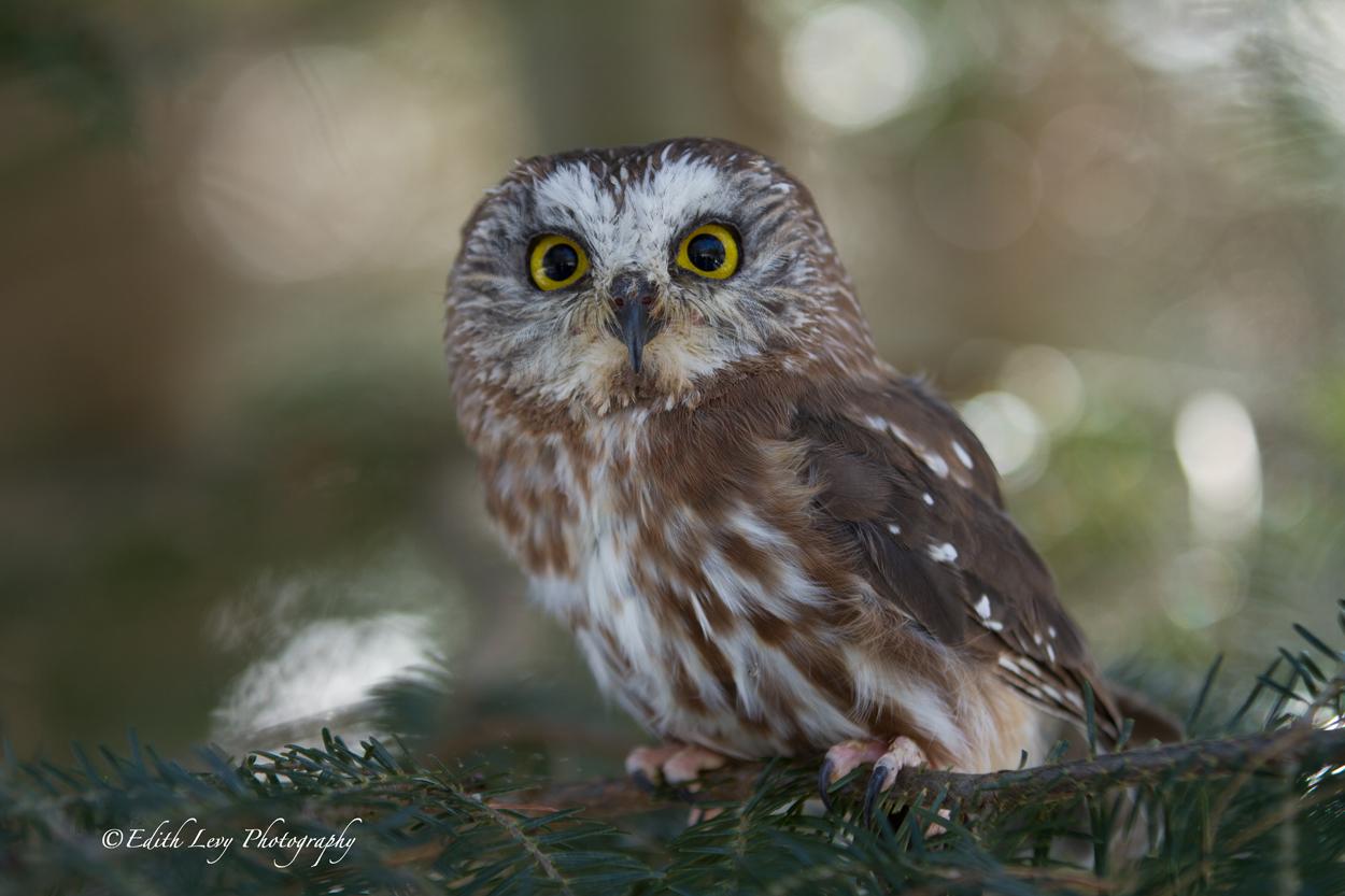 Muskoka Wildlife Reserve, Ontario, saw-whet owl,, photo