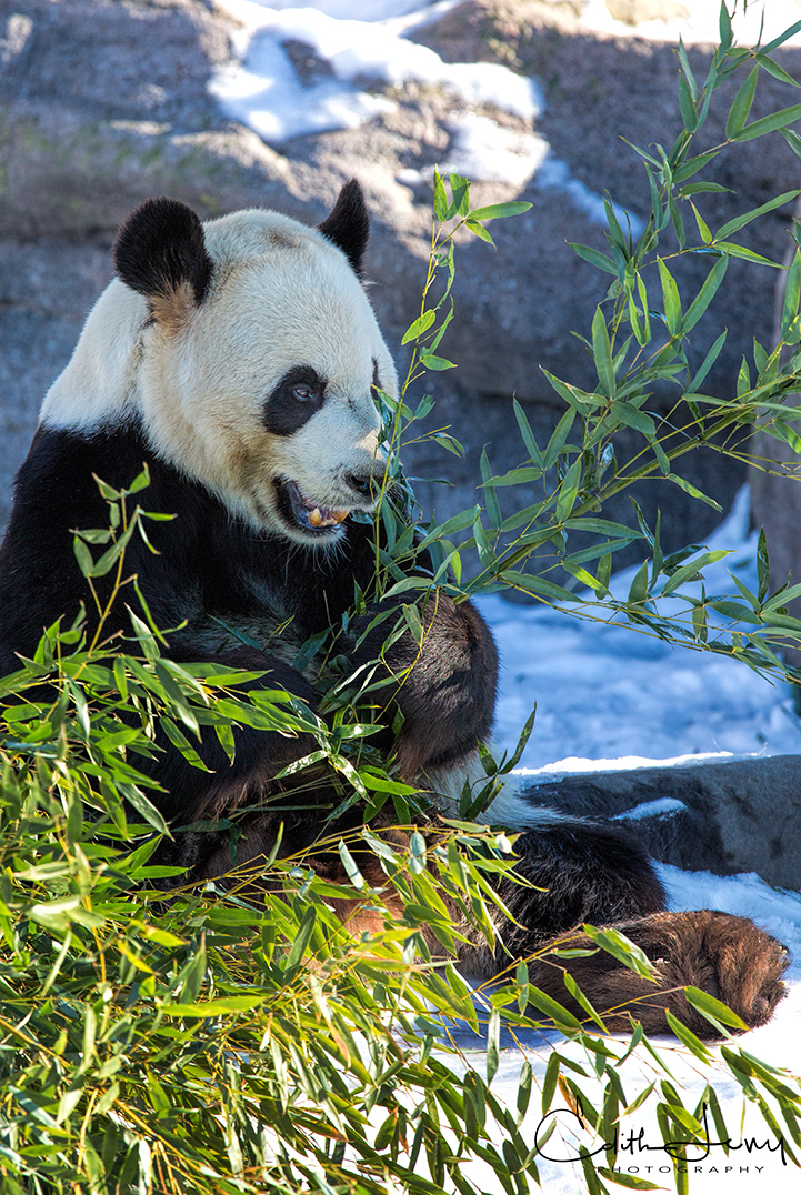One of the pandas at the Toronto Zoo snacks on a piece of bamboo.
