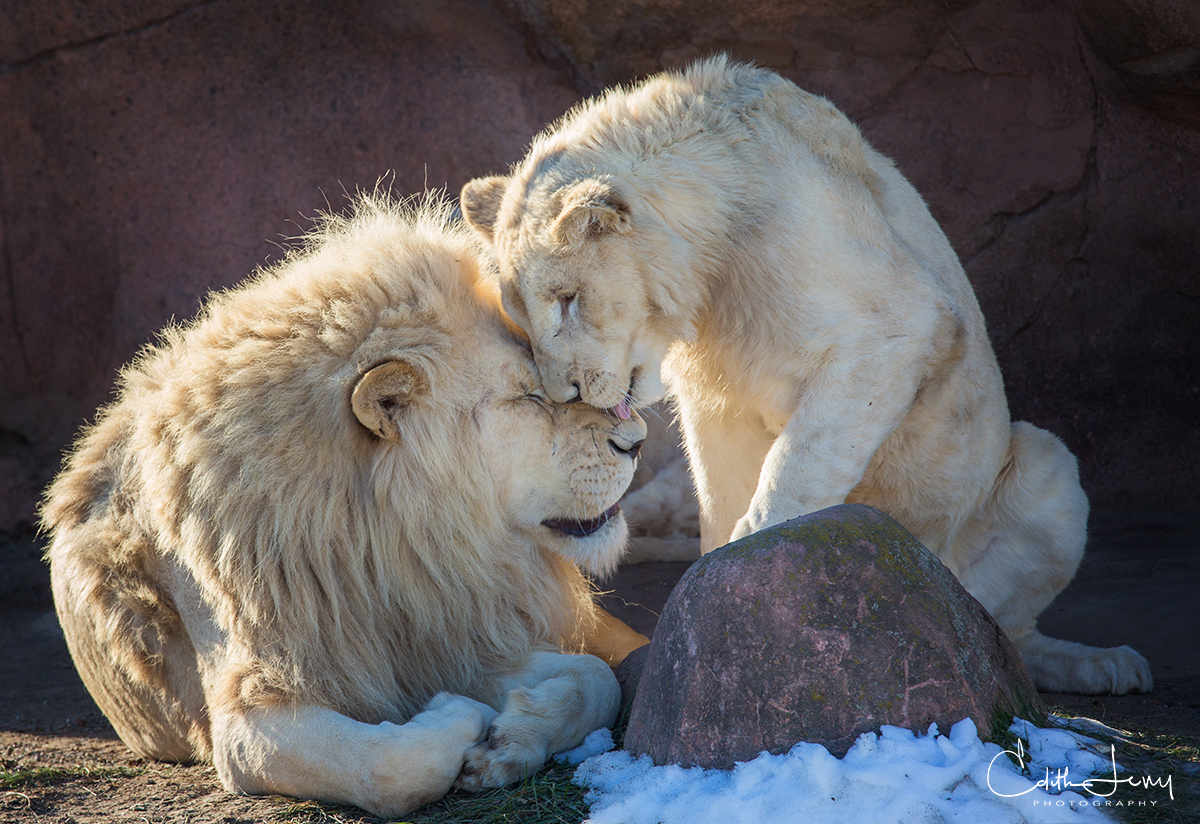 This image was taken at the Metropolitan Zoo in Toronto. A Lion and Lioness captured during a tender moment.