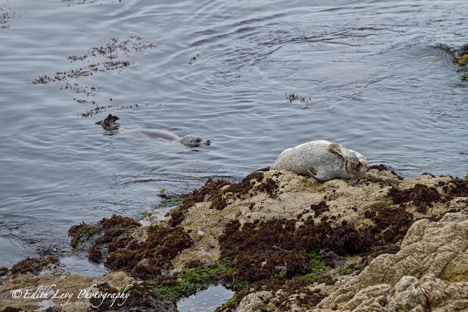 Point Lobos State Nature Reserve, California, sea lions, Pebble Beach, 17 Mile Drive, sea lion cove, harbour seal