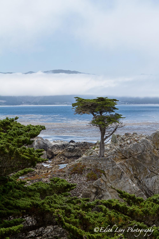 Pebble Beach, California, lone cypress, tree, 17 mile drive, sea