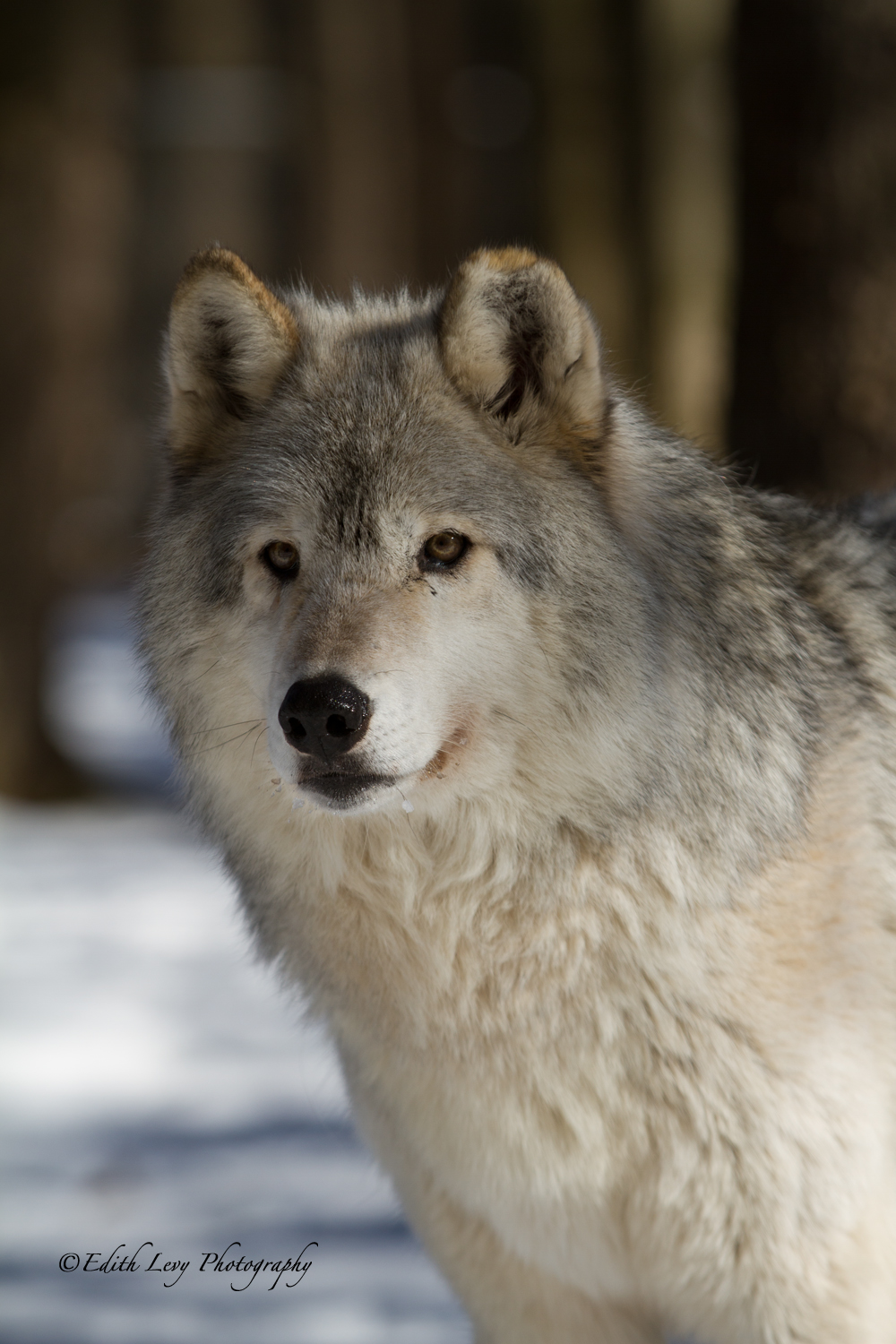 Muskoka Wildlife Reserve, wolf, winter, Ontario, , photo
