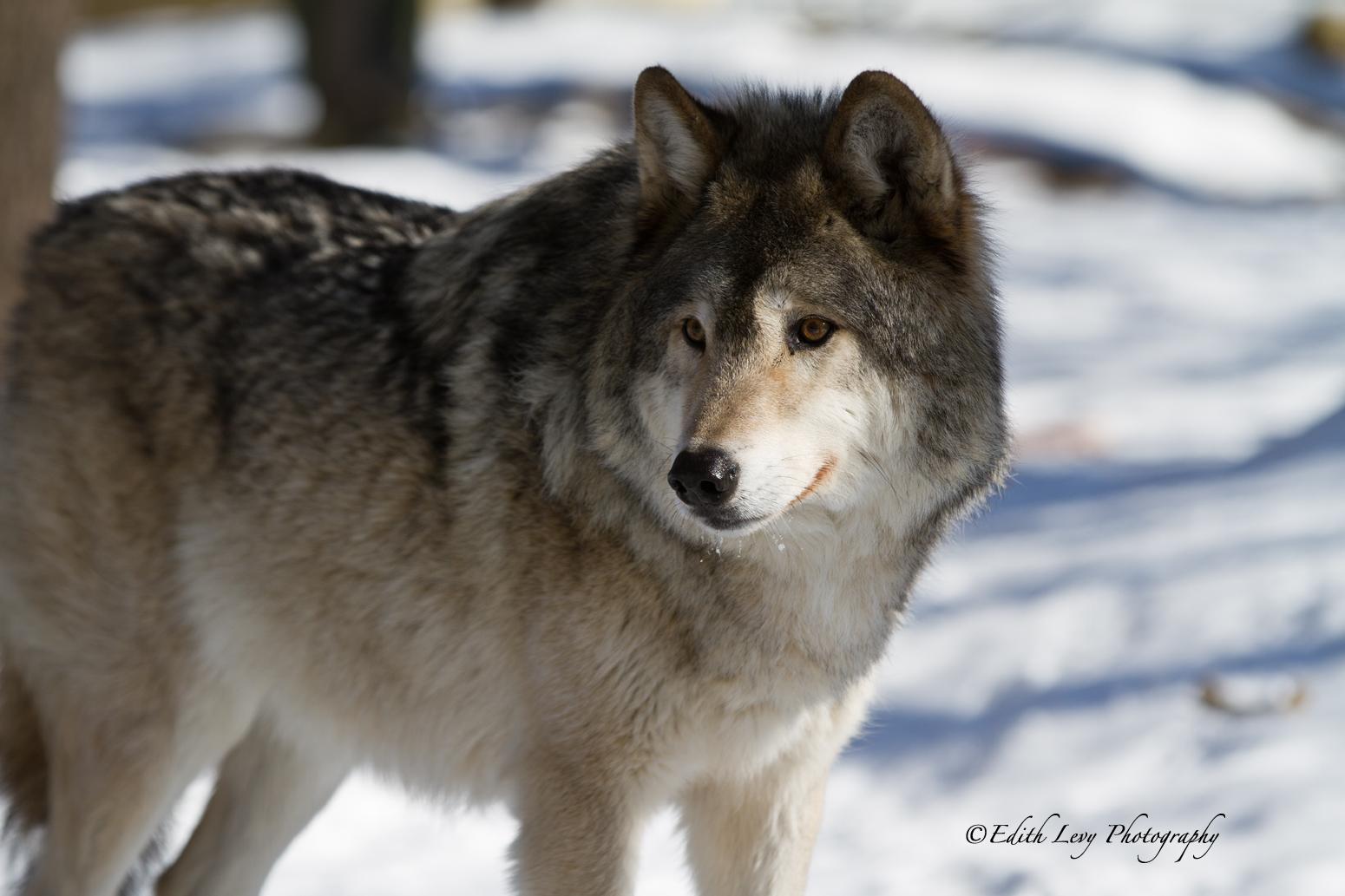 Muskoka Wildlife Reserve, wolf, winter, Ontario, snow, grey wolf