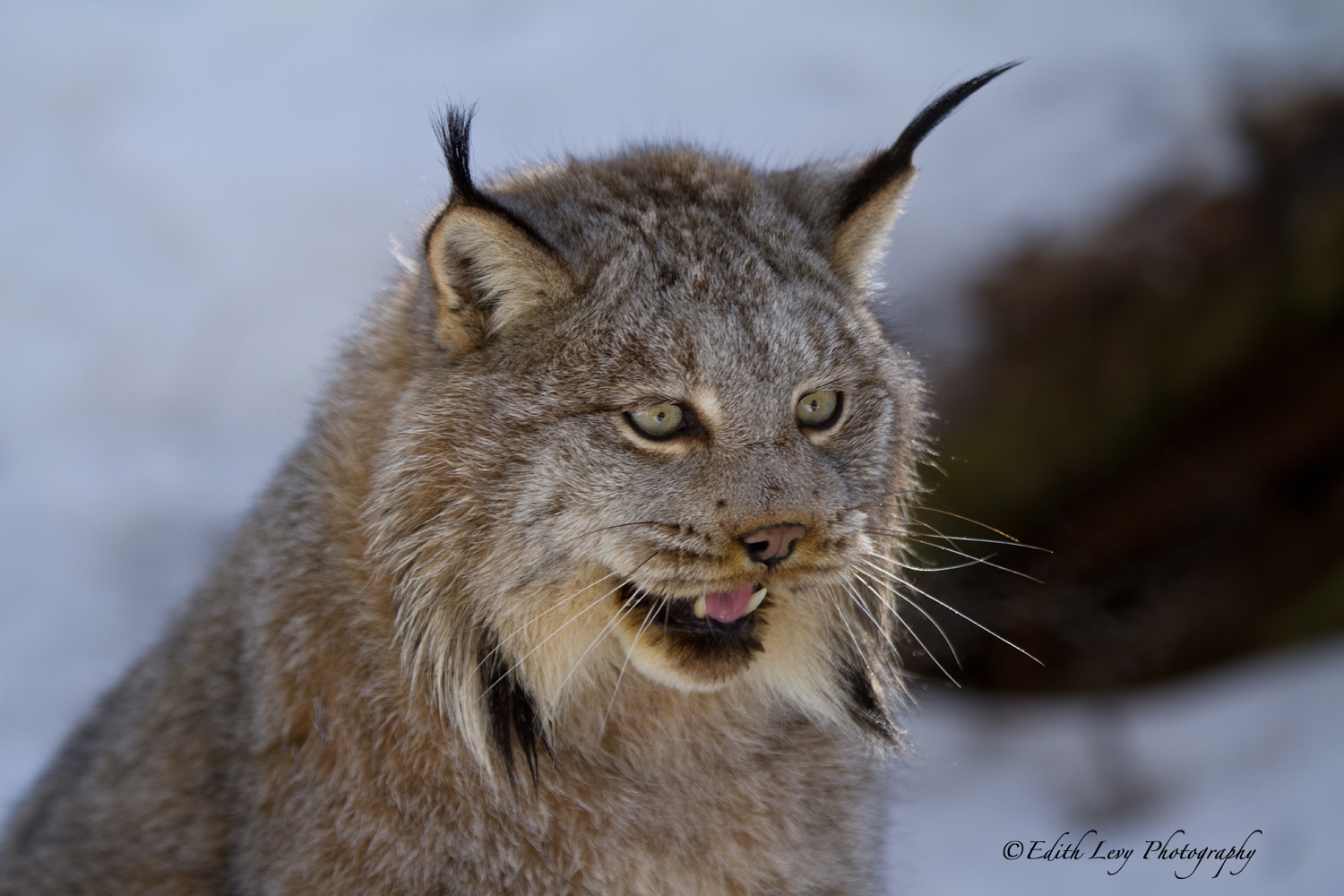 Muskoka Wildlife Reserve, Ontario, cat, Lynx, winter, stock image, portrait